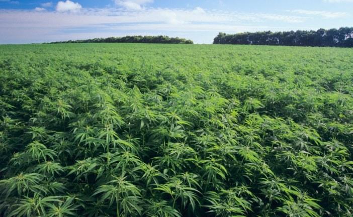 """Borba otkriva: """"Škaljarski klan"""" kontroliše dio plantaža marihuane u SAD-u!"""