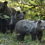 Tužilaštvo sakrilo istinu: Policijski inspektor bio sa lovcima koji su ubili medvjeda, a nije procesuiran!