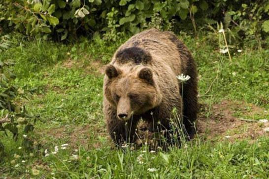 Na Bioču: Ubili medveda, pa završili u zatvoru